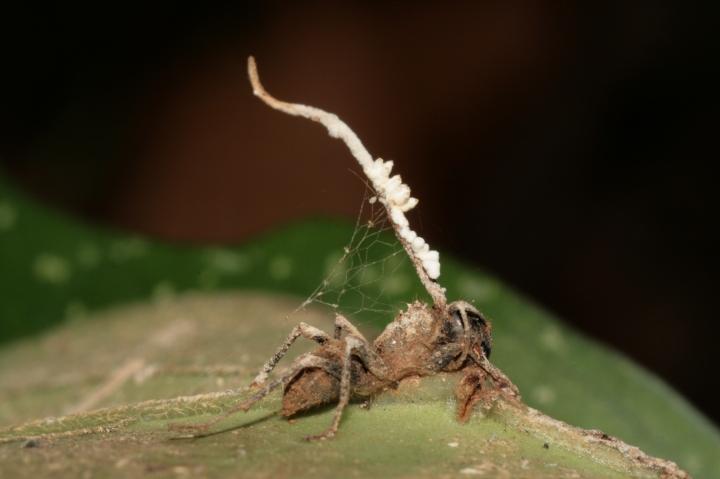 ant-zombie