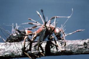 Zombie Ant (6)